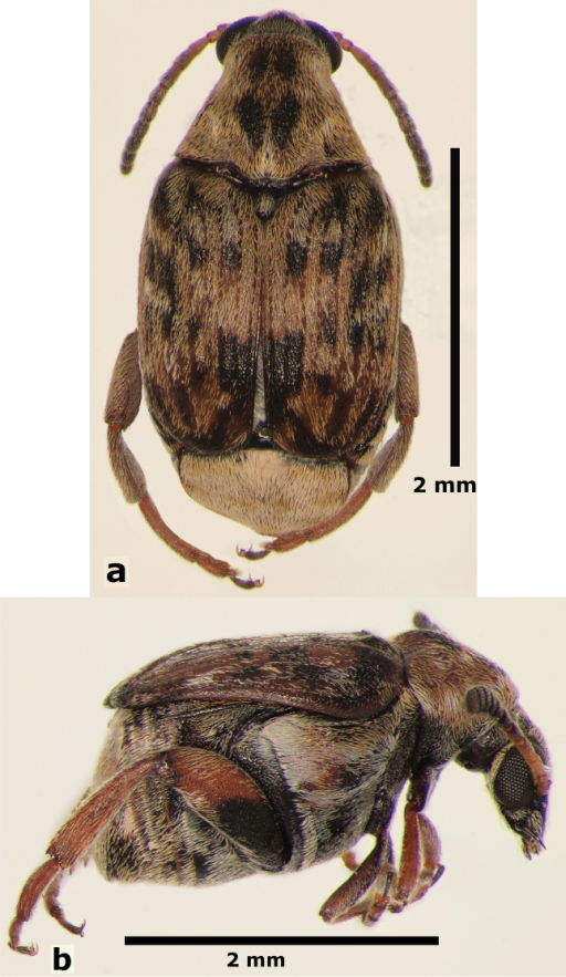 Female habitus of Decellebruchusatrolineatus; a dorsal view b lateral view.