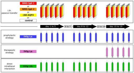 Schematic illustration of the study design. Repetitive intrathecal (i.th) application of purified patient IgG from two different patients (red and orange), recombinant human AQP4-ABs (rAB-AQP4, yellow), or control IgG (white), were performed in 3 series of five daily applications and 2 two-day breaks in between (3 weeks injection period in total). In a preventive, systemic strategy, pooled human immunoglobulin (IVIg) was applied intraperitoneally (i.p., blue). To test the therapeutic effect of IVIg in our model, IVIg was applied systemically only during the third series of i.th. passive transfer (purple). In a third approach, testing for direct antagonizing effects, IVIg was co-administered from the beginning of the experiments in an i.th. regime (green) immediately following injection of the pathogenic NMO immunoglobulin G fraction (NMO-IgG) or rAB-AQP4.