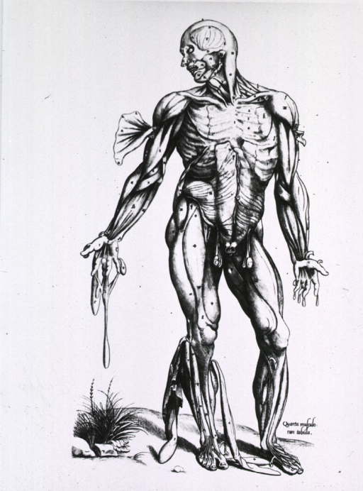 <p>Full length frontal view, standing, of human figure with musculature defined.</p>