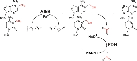 Oxidative demethylation of DNA by AlkB coupled with FDH reaction. The demethylation#of 1mA or 3mC in DNA by AlkB and production of formaldehyde are shown schematically. Also shown are the hydroxylated base intermediates and the conversion of formaldehyde to formate by FDH through a coupled reaction. In the process, coenzyme NAD+ is converted to NADH.