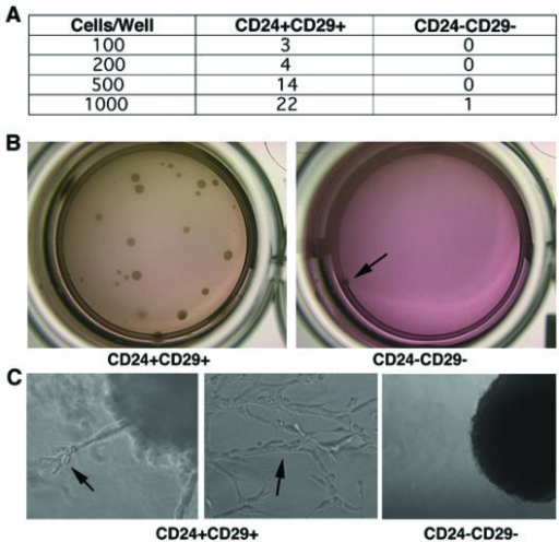 Double positive cells grow in three-dimensional cultures and form well differentiated structures. (A) Immediately after sorting, CD24+CD29+ and CD24-CD29- cells were grown in matrigel with varying number of cells per well. Numbers in table represent the number of colonies in one out of three independent experiments. (B) Pictures showing colonies formed when 1000 cells were inoculated in matrigel. Note, only one colony (arrow) was formed from 1000 double negative cells. (C) Characteristic colonies are shown in higher magnification. Arrows show differentiated structures as well as complex tubular structures formed from double positive cells grown in three dimensions.