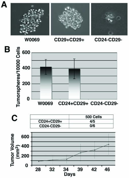 Enhanced self-renewal capacity and tumor growth ability of CD24+CD29+ cells compared to double negative cells. (A) morphology of tumorspheres grown in ultra-low attachment plates from W0069 cells, CD24+CD29+, and CD24-CD29- cells in culture. CD24-CD29- cells can form small cell aggregates but they cannot form tumorspheres. (B) Quantification of tumorsphere initiating cells was done by performing limiting dilution assay after plating 1 cell/well in 96 well plates. (C) CD24+CD29+ and CD24-CD29- cells were sorted out from primary BRCA1 tumors. Immediately after sorting, 500 cells from each group were injected into the fourth mammary fat pad of nude mice. Denominators in the table represent the number of injections, and numerators represent the number of resultant tumors. Tumor growth rates were monitored as described in Materials and Methods and average tumor size is shown.