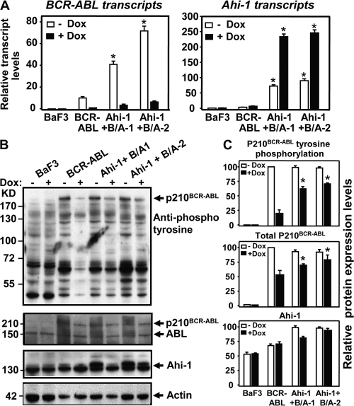 Sustained tyrosine phosphorylation and protein expression of P210BCR-ABL in BCR-ABL–inducible BaF3 cells cotransduced with Ahi-1. (A) Q-RT-PCR analysis of the levels of BCR-ABL (left) and Ahi-1 (right) transcripts relative to GAPDH in control BaF3, BCR-ABL inducible cells and two Ahi-1-transduced BCR-ABL inducible clonal lines cultured without IL-3 ± Dox for 24 h. (B) Western analyses of cell lysates from the same cells for 24 h. Antibodies used are indicated. (C) Tyrosine phosphorylation and protein expression of p210BCR-ABL and Ahi-1 relative to actin, as compared with BCR-ABL–transduced cells alone. Values shown are the mean ± SEM of triplicate measurements. * indicates significant difference between BCR-ABL–inducible cells alone and the inducible cells cotransduced with Ahi-1.