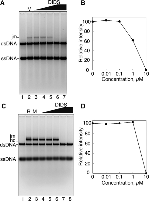 DIDS efficiently inhibits RAD51-mediated strand exchange. (A) DIDS titration experiments in the absence of 0.2 M KCl. The ϕX174 circular ssDNA (20 μM) was incubated with RAD51 (6 μM) in the presence of DIDS at 37°C for 10 min. After this incubation, 2 μM RPA was added to the reaction mixture, which was incubated at 37°C for 10 min. The reactions were then initiated by the addition of 20 μM ϕX174 linear dsDNA. The DNA products were then deproteinized, and were separated by 1% agarose gel electrophoresis in 1× TAE buffer at 3.3 V/cm for 4 h. The products were visualized by SYBR Gold (Invitrogen) staining. Joint molecule is indicated by jm. Lane 1 indicates a negative control experiment without RAD51. Lane 2 indicates an experiment with RAD51 and 5% methanol in the absence of DIDS. DIDS concentrations were 0.01 μM (lane 3), 0.1 μM (lane 4), 1 μM (lane 5) and 10 μM (lane 6). Lane 7 indicates an experiment with 10 μM DIDS in the absence of RAD51. (B) Graphic representation of the experiments shown in (A). The band intensities of the jm product were quantified as the peak volumes of densitometric scans. The jm peak volumes relative to that in the reaction without DIDS (A, lane 2) were plotted against the DIDS concentration. (C) The strand-exchange assay in the presence of 0.2 M KCl. Lane 1 indicates a negative control experiment without RAD51. Lanes 2 and 3 indicate control experiments without DIDS with RAD51 in the absence and presence of 5% methanol, respectively. DIDS concentrations were 0.01 μM (lane 4), 0.1 μM (lane 5), 1 μM (lane 6) and 10 μM (lane 7). Lane 8 indicates an experiment with 10 μM DIDS in the absence of RAD51. (D) Graphic representation of the experiments shown in (C). The band intensities of the jm products were quantified as the peak volumes of densitometric scans. The jm peak volumes relative to that in the reaction without DIDS (C, lane 3) were plotted against the DIDS concentration.
