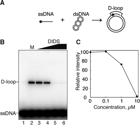 DIDS inhibits homologous pairing by RAD51. (A) The D-loop formation assay. Asterisks indicate the 32P-labeled end of the ssDNA 50-mer. (B) The reactions were conducted with 0.1 μM RAD51 in the presence of increasing amounts of DIDS. Lanes 1 and 6 indicate negative control experiments without and with 10 μM DIDS in the absence of RAD51, respectively. Lane 2 indicates a positive control experiment with RAD51 in the presence of 5% methanol. Lanes 3–5 indicate experiments with RAD51 and DIDS. The DIDS concentrations were 0 μM (lanes 1 and 2), 0.1 μM (lane 3), 1 μM (lane 4) and 10 μM (lanes 5 and 6). (C) Graphic representation of the experiments shown in (B).