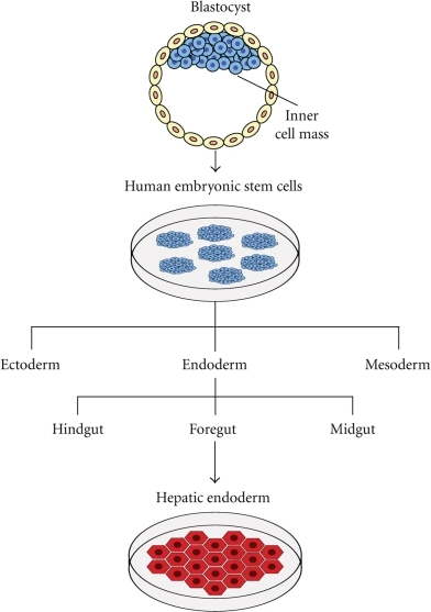 Schematic diagram of the derivation of hepatic endoderm from human embryonic stem cells.