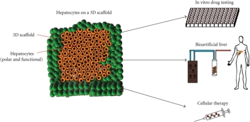 Schematic diagram of 3D culture of hepatocytes on a polymer scaffold, and the potential applications of this technology.