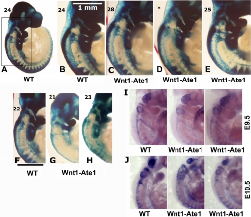 Wnt1-Ate1 mice have defects in neural crest cell migration.(A–H) X-gal staining of E9.5 control (A,B) and Wnt1-Ate1 (C–E) embryos derived from Wnt1-Ate1-R26R mouse line grouped by somite count (indicated on the top left for each embryo). A, lower magnification image of a control embryo at 24 somite stage. (B–E), back areas of different wild-type and Wnt1-Ate1 embryos with higher somite count, corresponding to the region boxed in (A), showing different neural crest migration patterns as described in the text. For Wnt1-Ate1, three littermates are shown, illustrating different pattern and severity of defects as described in the text; asterisk indicates the embryo, for which somite count was not performed and the staging relied on the comparison with its littermates shown on both sides. (F–H), back areas of wild-type and Wnt1-Ate1 embryos with lower somite count. Bar, 1 mm, for the images shown in (B–H). 10 wild-type and 10 mutant embryos were analyzed. See Figure S14 for whole embryo views. (I,J) In situ hybridization of E9.5 (I) and E10.5 (J) control and Wnt1-Ate1 embryos using Sox10 neural crest marker. 2 wild-type and 2 Wnt1-Ate1 embryos were analyzed for each developmental stage. See Figure S15 for whole embryo views.