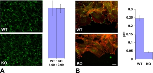 Ate1 knockout affects cell attachment to the substrate via intracellular and not extracellular mechanisms.(A) Left, extracellular fibronectin staining in a dense monolayer of wild-type (WT) and Ate1 knockout (KO) cultured fibroblasts shows no difference between the two cultures. Right, quantification of the fibronectin level in the two cultures measured as average gray value in the entire field of view confirms that there is no difference between WT and KO cells in the amount of extracellular fibronectin. Bars show the ratio between WT and KO and error bars represent the average of the measurements in 10 different fields of view in each culture. (B) Left, an overlay of the fluorescence staining of the edge of the cell monolayer moving into the wound co-stained with rhodamine-phalloidin (red) to visualize the actin filaments and anti-paxillin (green) to visualize the focal adhesions. Right, quantification of the number of focal adhesions per µm of the wound edge shows that the number of prominent focal adhesion in wild-type exceeds that in the knockout by over 5-fold. Error bars represent the measurements in 21 and 18 different images in WT and KO, respectively. Bar, 20 µm.