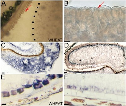 Analysis of aleurone tissue in Brachypodium and wheat grains. (A) Adherence of aleurone layer to the maternal tissues in wheat. (B) Adherence of aleurone layer to the endosperm in Brachypodium grains when grains are soaked in water and thin sections made with a sharp blade. The dotted line indicates the edge of the central endosperm. (C) ISH of BdPPDK showing expression in the pericarp of 4 DAA (days after anthesis) grains; (D) BdPPDK in the peripheral endosperm of 15 DAA grains. (E) Specific comparison of wheat PPDK with (F) BdPPDK in the aleurone layers. Scale bars, 20 μm.