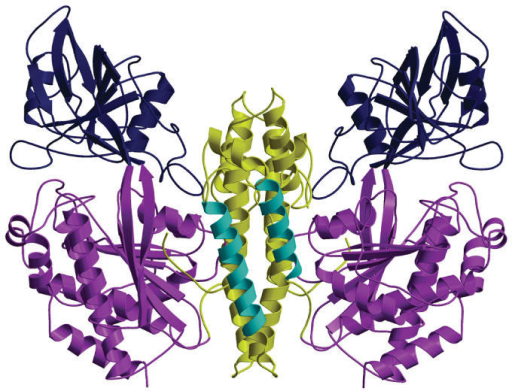 Ribbon diagram of transferrin receptor homodimer