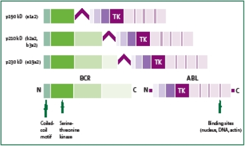 Graphical Representation Of BCR ABL Transcripts Resulting From The Translocation T922