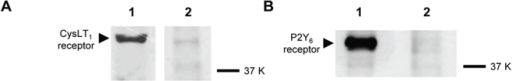 Western blotting analysis showing the protein expression of CysLT1 and P2Y6 receptors in 16HBE14o- cells.The expression of CysLT1 (44 kDa) and P2Y6 (41 kDa) receptors was demonstrated (lane 1), and their positions on the blot closely matched their calculated molecular masses of 39 kDa and 36 kDa, respectively. Detection of these protein bands appeared specific, as they were mostly blocked by prior reabsorption of the antibodies with their respective control antigen for 2 h at 4°C (lane 2).
