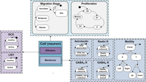 Design of a neuron agent in the model. Specifications of the model of a neuron as an agent in the computational model. Each agent consists of three objects, Effectors for intracellular regulation, Membrane for extra cellular signaling and Cell for developmental stages and proliferation. Each object specifies possible states for the element it covers. At run time, each orthogonal component (separated in dashed line) can be in one active state at a time.