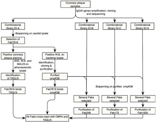 Microbiology Unknown Flow Chart Ibovnathandedecker