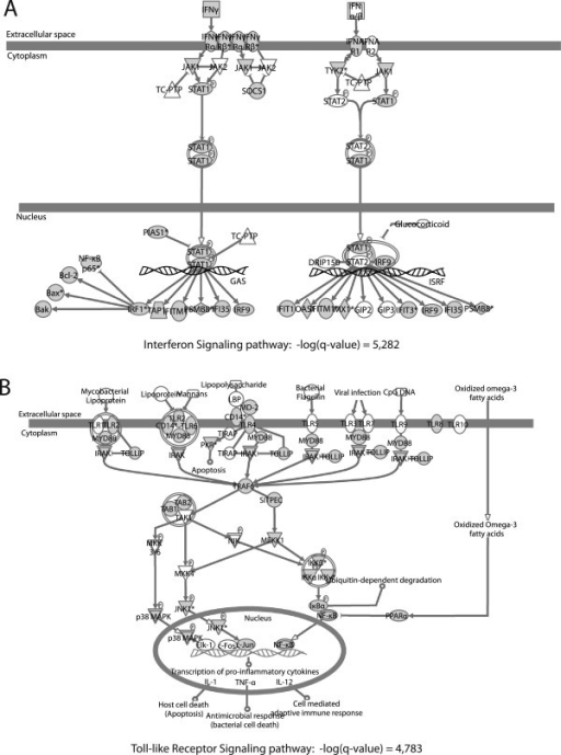 "Representation of the ""Interferon Signaling"" and ""Toll-like Receptor Signaling"" pathways. (A) Representation of the ""Interferon Signaling"" pathway. (B) Representation of the ""Toll-like Receptor Signaling"" pathway. Genes present in the EST library are shown in gray."