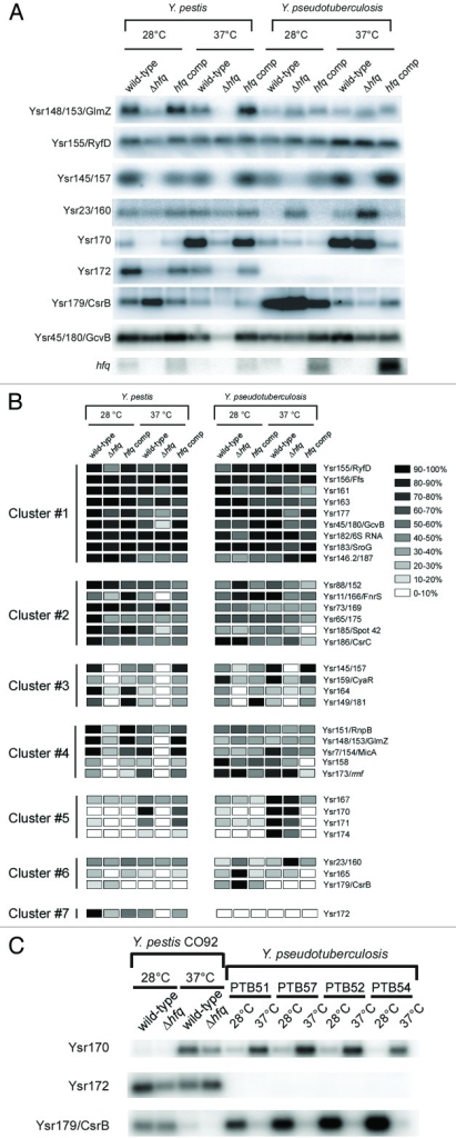 Figure 1. (A) Verification of Ysr expression by northern blot analysis. All northern blots are shown in Figure S1 and duplicate northern blots for most sRNAs are shown in Figure S4. A northern blot for hfq mRNA from a corresponding set of RNA samples is also shown (note that this blot is reproduced as part of Fig. S2). Corresponding 5S rRNA northern blots for four of the same membranes are shown in Figure S6. (B) Clusters of sRNA based on k-means clustering of sRNA expression data. Rows correspond to individual RNAs, while columns correspond to conditions for which expression was measured by northern blot. Shading indicates the relative expression of sRNAs for each strain/condition. Expression numbers are indicated as a percentage of the level for condition in which the RNA level is highest. (C) Northern analysis of Ysr170, Ysr172 and Ysr179/CsrB in additional strains of Y. pestis and Y. pseudotuberculosis. Duplicate northern blots are shown in Figure S5. Note that Y. pseudotuberculosis PTB52c is the same strain as used in (A).