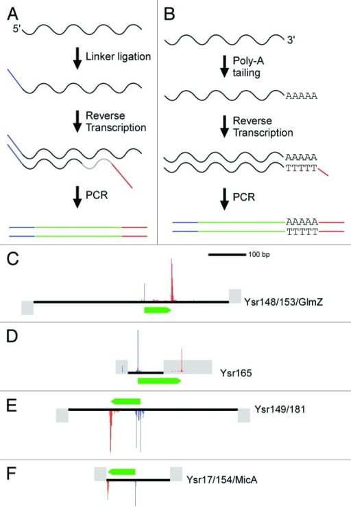 Figure 2. Representative examples of 5′ and 3′ Deep RACE data. (A) Schematic for the Deep 5′ RACE method. (B) Schematic for the Deep 3′ RACE method. (C) Deep 5′ RACE data (blue) and Deep 3′ RACE data (green) for four selected sRNAs. Flanking annotated genes are indicated by gray boxes.