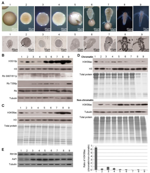 The amount of H3K56ac bound to chromatin decreases during diapause termination and post-diapause development.Diapause embryos, post-diapause embryos and samples during the hatching process were collected as mentioned above. (A) Morphology (upper panel) and BrdU incorporation assay (lower panel) of embryos and nauplius larvae at various developmental stages. The black arrows indicate the representative positive signal. (B) Western blotting analysis. Tubulin was used as a loading control. (C) Western blotting for H3K56ac in total histone extracts. The purity of histone extracts was evaluated by a Coomassie-stained gel. Histone H3 was used as a loading control. (D) Western blotting for H3K56ac in the chromatin and non-chromatin fractions. Coomassie-stained gels showed the protein composition of chromatin and non-chromatin fractions. Tubulin was used as a loading control for non-chromatin fractions. Histone H3 was used as a loading control for chromatin fractions. The intensities of the ECL signals were measured, and the ratio of H3K56ac in the chromatin fraction relative to that in the non-chromatin fraction was calculated (chromatin/non-chromatin) and is shown in the bar graph. The means of three independent biological replicates are shown; error bars represent the S.E.M. (E) Expression levels of Rtt109 and Asf1 by virtual Northern blotting.