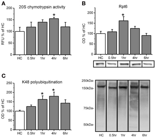 Proteasome chymotrypsin-like activity is increased in the amygdala after fear conditioning. Rats were trained to auditory fear conditioning (n = 10–11 per group) and amygdala tissue collected 0.5, 1, 4, or 6 h later for in vitro proteasome activity assay and Western blotting. (A) Amygdala lysates collected 4 h after fear conditioning showed enhanced degradation of the fluorogenic substrate LLVY-AMC relative to homecage (HC) controls. (B) There were transient increases in proteasome subunit Rpt6 that returned to baseline levels by 4 h. (C) Lysine-48 linked polyubiquitination was increased from 1–4 h after fear conditioning. Lower right panel shows representative K48 polyubiquitin blots for each group from the same gel. *p < 0.05 from HC controls.