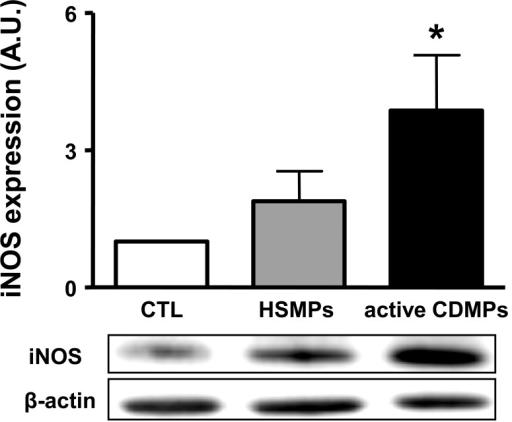 MPs from active CD patients increase the expression of iNOS in aorta.The aortas were isolated from mice injected with vehicle (CTL), MPs from healthy subjects (HSMPs) or with MPs from active CD patients (CDMPs). Western blotting was probed using antibodies raised against iNOS. Immunoblots were quantified by densitometric analysis. Data are representative of five separate blots, and the densitometry values are expressed in arbitrary units (A.U.) as mean ± SEM. *P<0.05 versus CTL.