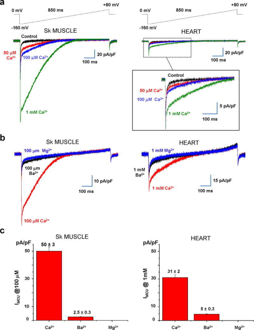 Divalent cation permeability of IMCU in skeletal muscle and heart(a) Representative IMCU recorded in the presence of different concentrations of Ca2+ in the bath: nominal Ca2+-free (black), 50 μM (red), 100 μM (blue), and 1 mM (green). Voltage-ramp protocol is indicated on top. (b) Left panel, Representative IMCU recorded from a skeletal muscle mitoplast in the presence of 100 μM Ca2+ (red trace), Ba2+ (black trace), and Mg2+ (blue trace). Right panel, Representative IMCU recorded from a heart mitoplast in the presence of 1 mM Ca2+ (red trace), Ba2+ (black trace), and Mg2+ (blue trace). (c) Histograms of the relative permeability of IMCU to Ca2+, Ba2+, and Mg2+ in skeletal muscle (n=4, left panel) and heart (n=4, right panel). Current amplitudes were measured at 5 ms after stepping from 0 to −160 mV (see the voltage protocol in b). Statistical data are represented as mean ± SEM.