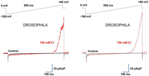 Cl− current of the IMM of Drosophila flight muscle(a) Left panel: representative whole-mitoplast current recorded from Drosophila flight muscle before (black traces) and after (red traces) application of 150 mM Cl− to the bath solution. Pipette solution contained 2 mM Cl−. Currents were elicited by a voltage-ramp protocol (shown above). The whole-mitoplast Cl− current was normalized to the membrane capacitance (Cm). Right panel: Same experiment as in (a), but the traces represent an average of 10–20 original current traces to smooth out fluctuations of the outward Cl− current mediated by a large conductance channel.