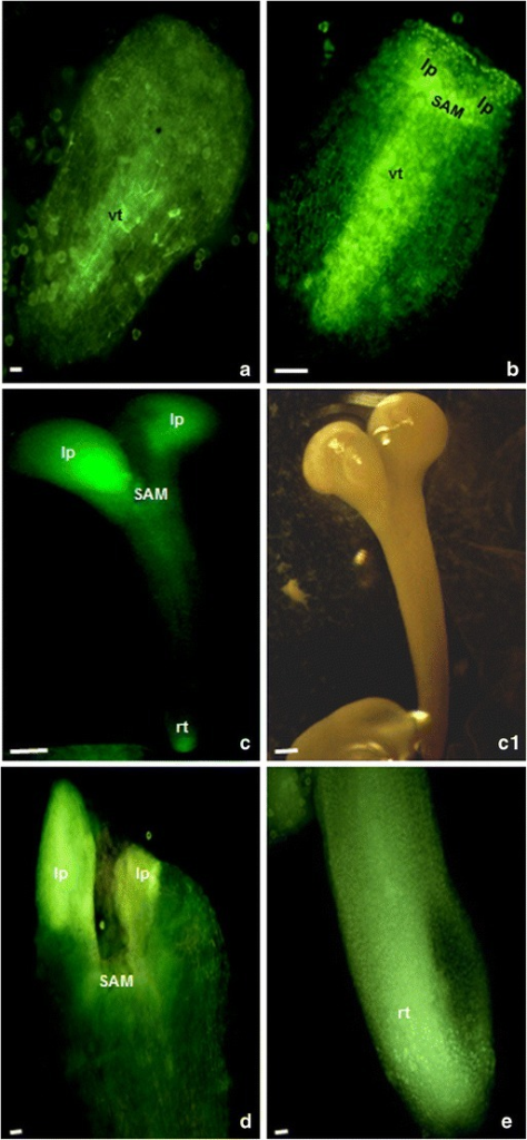 "Local auxin distribution at the torpedo- and cotyledon-stage embryos of B. napus derived from the ""mild"" and prolonged heat treatment. a, b The torpedo-stage embryos. The DR5rev activity in the provasculature (vt), in the shoot apical meristem (SAM), and in the leaf primordia (lp). c–e The cotyledon-stage embryos with the DR5rev activity in the apex of cotyledons (c), in the shoot apical meristem (SAM), and in the root tip (rt). The light green color shows the expression of the reporter gfp gene driven by the DR5rev promoter. Bar = 20 μm"