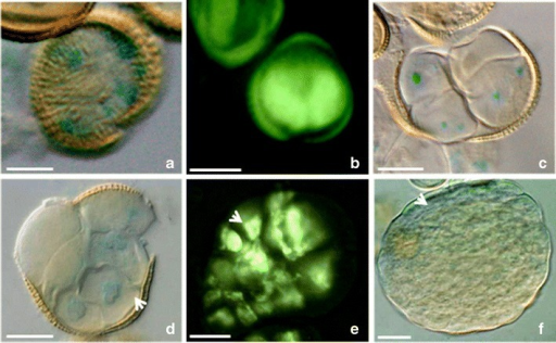 Local auxin distribution in the prolonged heat-treated microspores and MDEs of B. napus.a The microspore with non-polar activity of the DR5 promoter. b Two-celled pro-embryo with the DR5rev activity in the both symmetrical cells. c–e Multicellular structures emerging from the exine. The polar DR5 (c, d) or DR5rev (e) activities at the few-celled stage. The arrow indicates the stronger DR5rev activity on the one pole (e). (f) The globular embryo stage with the DR5 activity in the protoderm (arrow). The blue and light green colors show the expression of the reporter gus and gfp genes driven by the DR5 or DR5rev promoters (respectively). Bar = 20 μm