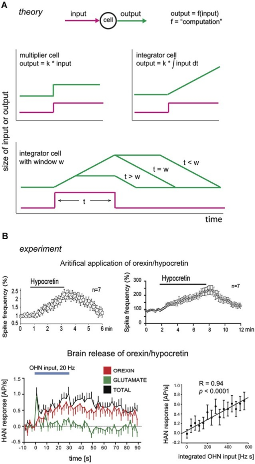 Integrators and their hypothetical neural correlates. (A) Theoretical input-output dynamics of neurons that act as multipliers (top left graph), or integrators (top right graph) with different integration windows (bottom graph). W here is defined as the duration of integration window, i.e., given . Input is shown in magenta, and output in green. (B) Experimental input-output relations of neurons in brain orexin circuits. Top row, firing outputs of orexin/hypocretin neurons (OHNs ) in response to bath application of 1 µM (left) and 200 nM (right) orexin/hypocretin peptides (from Li and van den Pol, 2006, reproduced with permission from The Society for Neuroscience). Bottom row, firing outputs of histamine neurons (HAN) in response to optogenetic stimulation of OHNs at 20 Hz (blue bar). Responses due to orexin transmission are in red (data from Schöne et al., 2014).