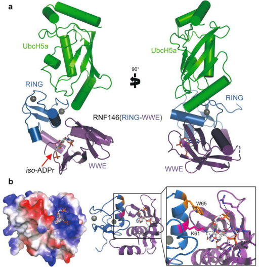 Crystal structure of the RNF146(RING-WWE)/UbcH5a/iso-ADPr complexa. Cartoon representation of the RNF146/UbcH5a complex with RING domain colored blue, WWE domain colored purple, and UbcH5a colored green. Zn2+ ions are shown as grey spheres, and the iso-ADPr ligand is represented as sticks. b. The RNF146/iso-ADPr interface. (Left) Surface electrostatic view of RNF146(RING-WWE), showing the iso-ADPr/PAR binding pocket; (Center) same view, cartoon representation; (Right) close-up view of iso-ADPr pocket. Polar contacts between protein and the ligand, iso-ADPr, are indicated by dashed lines; RING residues K61 (magenta) and W65 (orange) are highlighted.