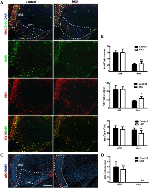 Cell cycle properties and progenitor number in the mutant dentate gyrus.(A-B) After BrdU labeling, E15.5 pregnant mice were sacrificed 1 h later to retrieve fetal brains for subsequent fixing and sectioning. Immunofluorescence microscopy was performed with anti-Ki67 and-BrdU antibodies, with representative images of the hippocampal regions shown in (A) and the quantification of the stained cells in two regions (outlined with dotted lines) presented in (B). The quantification was based on two pairs of control and mutant brains, with 8 matched sections per brain. In the dentate neuroepithelium (dNE), no difference was detected. In the dentate migration stream (dms), the number of BrdU+ progenitors was normal but the Ki67+ cycling cells increased significantly, thereby decreasing the ratio of S-phase (BrdU+) vs proliferating (Ki67+) cells. (C-D) Immunostaining of sections from the same brains as in (A-B) with an antibody specific to phospho-Ser10 of histone H3 (pH3). Representative images of the hippocampal regions are shown in (C) and the quantification of positive cells in two regions (outlined with dashed lines) is presented in (D). No pH3-positive cells were detected in the migration stream. Scale bars: 100 μm; ns, not statistically significant; *p<0.05, **p<0.01.