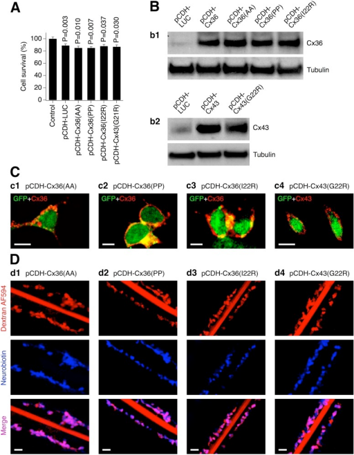 Expression of connexins with amino acid substitutions results in formation of communication-deficient gap junction channels.Data from MTT assay (A), western blot (B), immunostaining (C) and scrape-loading dye transfer (D) experiments in transduced Cx36 knockout mouse neuronal cortical cultures (A, B) and stably-transduced HeLa cells (C, D) are shown. A, Lentiviral transductions reduced neuronal survival over a three day period (statistical analysis: Student's t-test, shown relative to non-infected {Control} cultures; n = 4 per group; mean ± SEM). However, no statistical difference in neuronal survival between the control lentivirus and each of the other transductions was detected (P>0.05, not shown; Student's t-test). B, C, Lentiviral transductions induce mutant Cx36 and Cx43 proteins (B) that are expressed in the cell's plasma membrane (C). The mutant connexins are recognized by the WT connexin antibodies. D, Cells expressing mutant connexin do not pass Neurobiotin. In all experiments, cell transduction conditions, timing, analyses, antibodies (for Cx36 and Cx43) and image presentations are as in Fig 2. In B-D, the images are representative of three independent experiments.