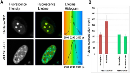 Mapping of the intracellular protein concentrations by using FLIM approach: (A) Fluorescence intensity images, fluorescence lifetime images, and corresponding lifetime histograms of fibrillarin-GFP and ASF/SF2-GFP (in picoseconds). (B) Estimated average protein concentration for the nucleolus, nuclear speckles and the nucleoplasm. Error bars show the standard deviations.
