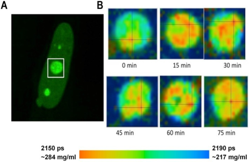 Monitoring of the fluorescence lifetime of Fibrillarin-GFP: (A) Intensity image of fibrillarin-GFP expressing cell. Nucleolus in white rectangle was acquired every 15 min. (B) Time sequenced FLIM images of nucleolus. A color-coded image demonstrates changing distribution of fluorescence lifetime values and corresponding concentrations of nucleolar proteins at each time point.