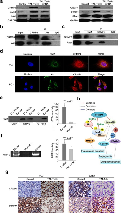 Akt-Rac1-MMP9 signaling pathway in CRMP4-mediated suppression of metastasis(a) Western blot detection of phosphorylation and expression of Akt and Rac1 in the PC3 cells transfected with CRMP4-TAL-Tet1c or empty vector phCMV1 as control. CRMP4 siRNA was utilized to verify the loss-of-function. (b) Akt and CRMP4 interaction detected in the PC3 cells with differential Co-IP and Western blot. (c) Rac1 and CRMP4 interaction detected in the PC3 cells with differential Co-IP and Western blot. (d) Subcellular co-localization of CRMP4 with Akt and Rac1, respectively, in the CRMP4-TAL-Tet1c-expressing PC3 cells detected using confocal images. (e) Rac1 GTPase activity detected in the CRMP4-TAL-Tet1c-expressing PC3 cells using a Pull-down assay. (f) MMP-9 activity detected in the CRMP4-TAL-Tet1c-expressing PC3 cells using a Gelatin zymography assay. (g) IHC detection of opposite expression of CRMP4 and MMP-9 in the primary tumors from mice injected with PC3 or 22Rv1 cells expressing specified dTALEs. (h) Schematic of CRMP4-mediated signaling pathway involving phosphorylation of Akt and Rac1, activity of Rac1 GTPase and MMP-9, and repressed expression of MMP-9, VEGFB and VEGFC15, collectively leading to suppression of prostate cancer metastasis (Solid-lines: findings of this manuscript. Dashed-lines: previously published data and data not shown). The P values in e and f were determined with the Student's t-test. The error bars in e and f are s.e.m.