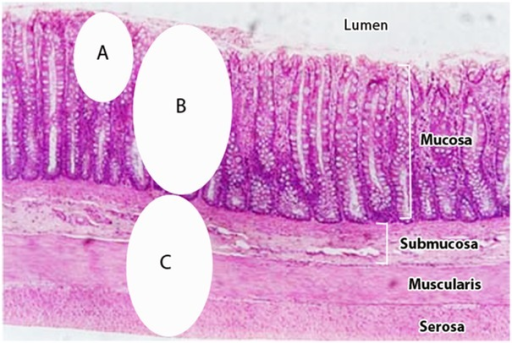 Intestinal tissues examined in present study.Mucosal tissues examined by other methods, such as snip biopsy (A), predominately examine microbes of the mucosal surface; Mucosal (B) and Submucosal (C) tissues examined by the present study examined bacterial populations deep within the diseased tissues.