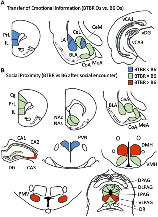 Summary of c-Fos protein expression patterns related to asocial behavior for: (A) c57BL/6J (B6) mice and BTBR T+Itpr3tf/J (BTBR) mice Observers exposed to a stressed cagemate in the Transfer of Emotional Information test and (B) B6 and BTBR mice exposed to a social stimulus (unfamiliar B6 male) during Social proximity test.
