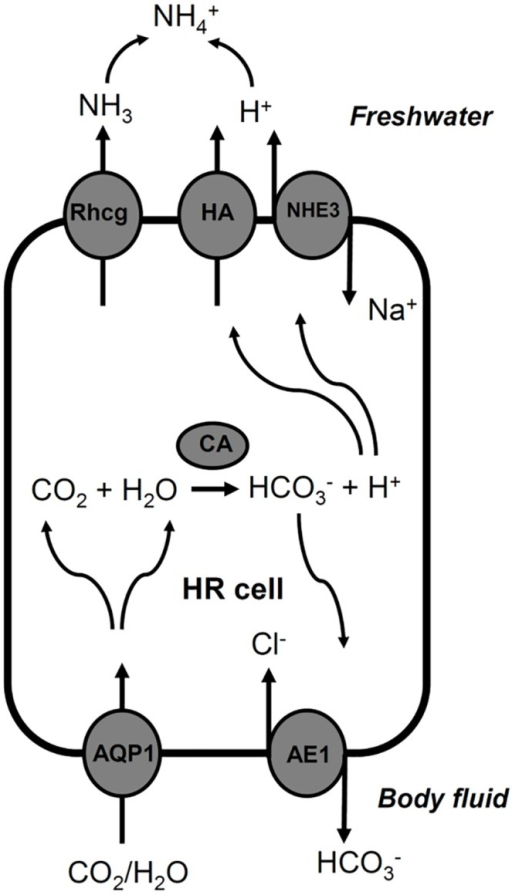 The proposed role of AQP1a.1 in acid-secreting HR cells of zebrafish [modified from 13, 14].Refer to the text for detail. AQP1, aquaporin 1a.1; AE1, anion exchanger 1b; CA2, carbonic anhydrase 2; HA, H+-ATPase; NHE3, Na+/H+ exchanger 3; Rhcg1, Rhesus C glycoprotein 1.