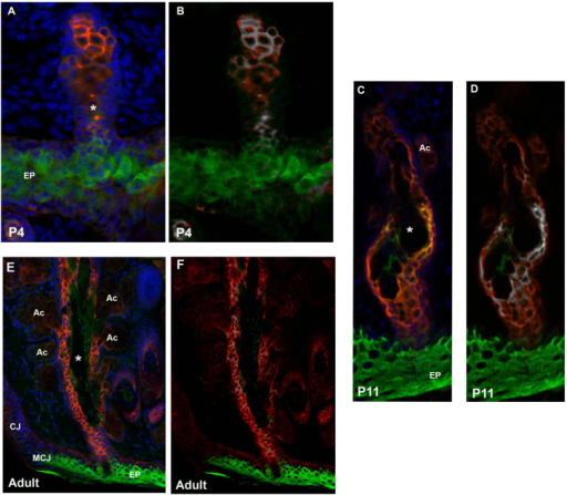 A unique cell lineage expressing Krt4 and Krt10. Horizontal sections of eyelids double stained with keratin 4 (Krt4; red) and Krt10 (green) at P4 (A, B), P11 (C, D), and adult (E, F). Regions of colocalization were determined using the Coloc 2 plug-in for the Fiji software package. Colocalized regions are shown in white at P4 (B), P11 (D) and adult (F). At P4, colocalization of Krt4 and Krt10 is found in the developing central duct as well as the distal gland region. By P11, the colocalization region is restricted to the central duct and is absent from the acini. In the fully developed meibomian gland (adult), areas of colocalization are found within the central duct near the ductule openings. EP = epidermis; MCJ = mucocutaneous junction; CJ = conjunctiva; AC = acinus; asterisk = central duct.