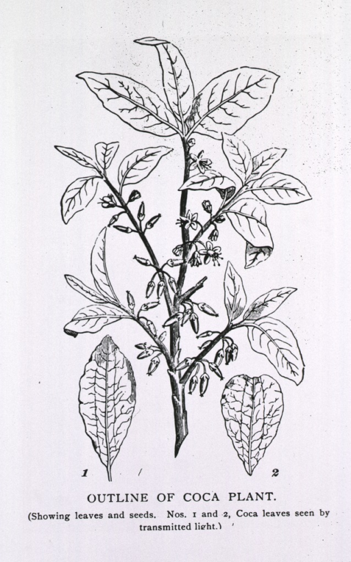 <p>Stem of a coca plant showing leaves, seed pods, and flowers.</p>