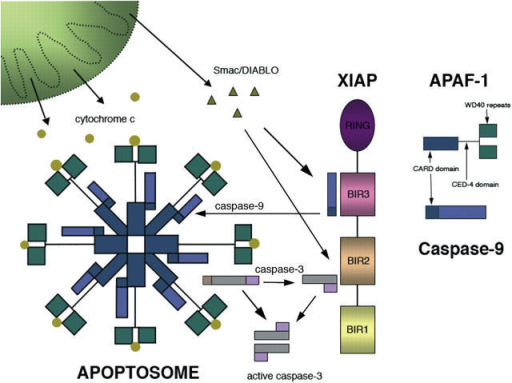 The apoptosome death wheel. Apaf-1 together with procaspase-9 form the wheel-shaped apoptosome complex. Cytochrome c binds to Apaf-1 and drives cell death through the activation of caspase 3. The IAPs, such as XIAP, can counteract caspase activation, but this brake on cell death is diminished by Smac/Diablo released from the mitochondria. The steady-state levels of the various interacting proteins may vary between cell types and with cell differentiation. As well as the apoptosome, other cellular pathways can be activated and probably interact during cell demise.