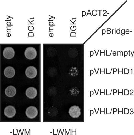 PHD3-dependent two-hybrid interaction between pVHL and DGKι. Two-hybrid interactions between BD-pVHL and AD-DGKι in the absence and presence of the indicated PHD isoforms were assayed as in Figure 2a.