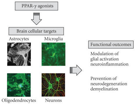 Cellular targets of PPAR-γ agonists in neurodegenerative diseases. PPAR-γagonists can control neuroinflammation, neurodegeneration, and demyelination byeffecting several cellular targets and by several direct and indirectmechanisms. PPAR-γ agonists can control glial activation, preventing a number of proinflammatoryactivities that can contribute to myelin/OL damage and neurotoxicity PPAR-γagonists may also affect OLs and neurons, by preventing release inflammatorymediators and/or promote the synthesis of soluble factors or membrane-boundmolecules that control glial activation.