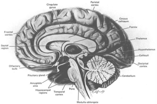 The human brain in cross section cortical limbic and open i the human brain in cross section cortical limbic and cerebellar regions are highly ccuart Images