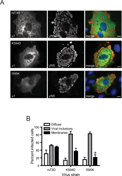 Apoptosis-modulating ϕ mutations alter μ1 distribution in cells.(A) CV-1 cells were infected with 10 PFU/cell of rsT3D or the indicated ϕ mutant, fixed 48 h post-infection, permeabilized, and immunostained with anti-μ1 MAb 4A3 (green) and anti-μNS serum (red), followed by goat anti-mouse IgG conjugated to Alexa Fluor 488 (green) and goat anti-rabbit IgG conjugated to Alexa Fluor 594 (red). Scale bars, 10 µm. A representative image of the predominant μ1 distribution pattern following infection with each virus strain is shown. (B) The patterns of μ1 distribution in individual infected cells were scored for each time point as diffuse, associated with viral inclusions, or associated with intracellular membranes (marked by distinct ring-like distribution of μ1). Results are expressed as the mean percentage of cells showing the indicated μ1 distribution for triplicate samples. Error bars indicate SD. *, P<0.05 as determined by Student's t-test in comparison to rsT3D.