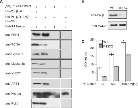 The R137Q Pol β variant has an impaired interaction with PCNA. (A) Ni-NTA pull-down was performed with the cell extracts from pol β  MEFs and purified Pol β or R137Q variant proteins (His-tagged). The interaction was detected by western blotting using antibodies against FEN1, APE1, PCNA, Ligase 1, Ligase IIIα and XRCC1. A negative control with His-tagged GST was added to rule out the possibility that desirable proteins interact with His tag directly. (B) Pull-down assay using purified proteins. Purified PCNA was immobilized on Sepharose 4B beads, incubated with purified Pol β (WT or R137Q), washed and beads were then boiled in SDS–PAGE sample buffer. Proteins were separated by SDS–PAGE and transferred onto PVDF film, followed by detection with anti-Pol β and anti-PCNA antibodies. (C) Affinity comparison of PCNA with WT and R137Q Pol β by ELISA. PCNA was coated onto ELISA plates, incubated with different concentrations of purified WT or R137Q Pol β, washed and bound protein was detected by mouse anti-Pol β antibody and goat anti-mouse IgG/HRP. Color was developed by adding TMB. The color reaction was stopped by adding 1 N HCl. Optical density was read on microplate reader.
