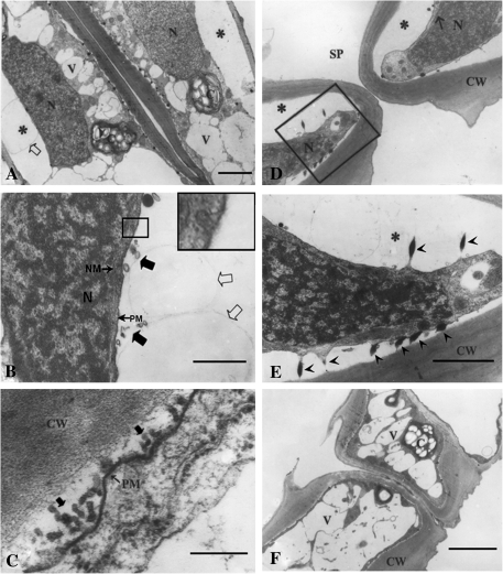 Sections of closed stomata. The stomatal closure was induced by CO2 as described in the Materials and methods. (A) A paradermal section showing a whole view of a closed stoma. Note the vacuolar fragmentation and plasmolysis (*). Bar=2 μm. (B) Magnified image of the heavily plasmolysed area. Note the small (large filled arrows) and large vesicles (large open arrows) outside the plasmalemma. The image with a large frame in the upper right corner is a enlarged view of the region with a small frame showing endocytosis. Bar=0.25 μm. (C) A paradermal section with a much higher magnification near the ventral wall showing a large number of vesicles outside the plasmalemma (large filled arrows). Bar=0.05 μm. (D) A cross-section near the central line (see Fig. 1) showing a whole view of a closed stoma. Note the plasmolysis (*). Bar=2 μm. (E) Magnified image of the framed region in D showing the relationship among plasmalemma, osmiophilic bodies, and the cell wall. Bar=0.15 μm. (F) A cross-section in the position between the central line and stomatal ledge (see Fig. 1) showing that no serious plasmolysis occurred around the cell walls. Bar=2 μm. V, vacuole; N, nucleus; SP, stomatal pore; CW, cell wall; NM, nuclear membrane; PM, plasmalemma. Bar=0.25.