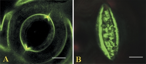 Confocal images of stomata labelled by FM1-43. Guard cell pairs of stomata were labelled by FM1-43 and the imaging was performed as described in the Materials and methods. (A) Opened stoma. Note that the plasmalemma is quite smooth and taught. (B) Closed stoma. Note that the ventral plasmalemma becomes folded with numerous extrusions, and excreted vesicles appear nearby, whereas the dorsal plasmalemma becomes invisible.