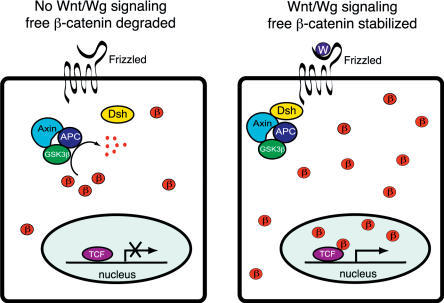 A Simplified Version of Wnt/Wg SignalingIn the absence of the Wnt ligand, Arm/ β-catenin (β) is phosphorylated by a complex of Axin, APC, and Zw3/GSK3 β and rapidly degraded. Upon Wnt (W) signaling through the Frizzled receptor and Dsh, this complex is inhibited: as a consequence, β-catenin accumulates and binds to LEF/TCF proteins to stimulate transcription of Wnt target genes.